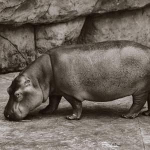 Hipopotam z profilu