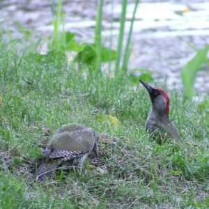Read more about the article Picus viridis