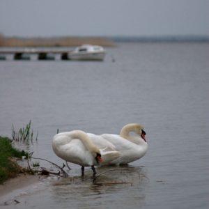 Read more about the article Łabędzie nad jeziorem Jamno