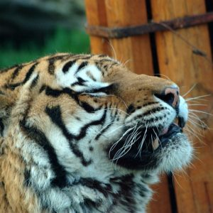 Read more about the article Wrocławskie ZOO (5) – Tygr
