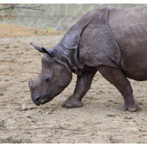 Wrocławskie ZOO (7) – nosorożec
